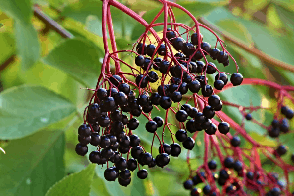 fresh elderberries